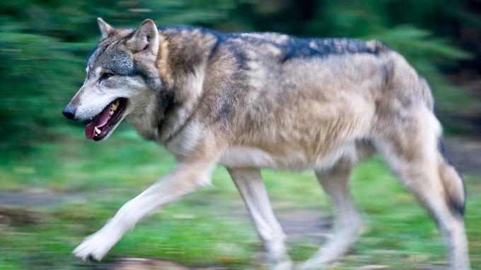 Schon rund 100 Wölfe soll es in Deutschland wieder geben.