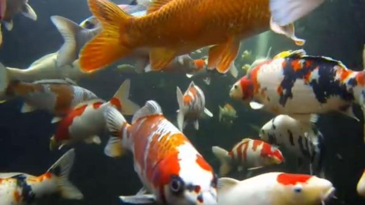Teures hobby oder geldanlage kois juwelen im for Koi fische im gartenteich