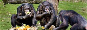 Schimpansen fühlen sich mit ihresgleichen am wohlsten.