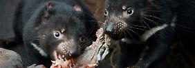 Tasmanische Teufel beim Verspeisen eines Kaninchens - sie sollen auch gegen die Katzenplage helfen.