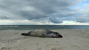Staupe oder Influenza?: Experten untersuchen tot angespülte Seehunde