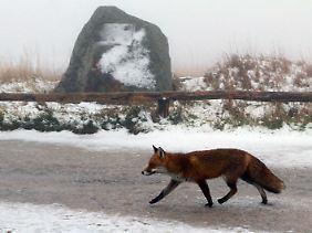 Auch der Fuchs friert: Der erste Schnee ist da.