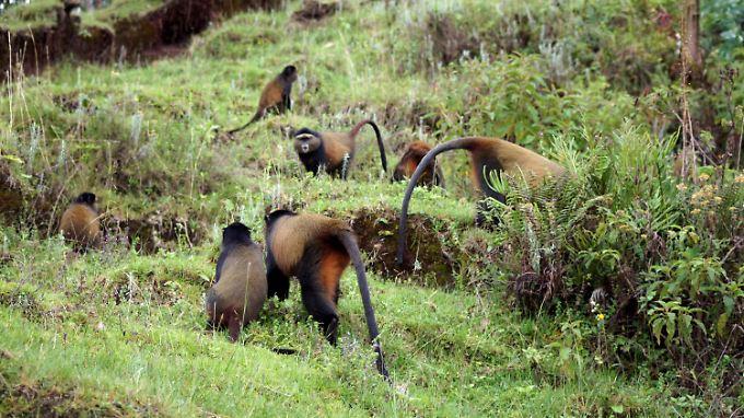 Golden Monkeys in einem Waldgebiet an der Grenze zwischen Ruanda, Uganda und Kongo im Volcanoes National Park.