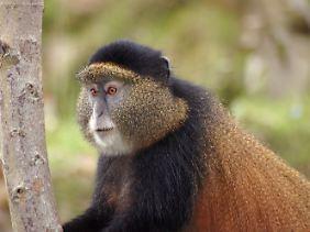 Von den Golden Monkeys gibt es heute  in Ruanda nach Schätzungen etwa 3500 Exemplare.