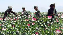 Nato scheitert mit Einsatzziel: Afghanistan fährt Rekord-Mohnernte ein