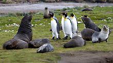Antarktische Seebären und Königspinguine auf der Insel Südgeorgien.