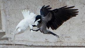 Nach Krähen-Attacke: Papst lässt Luftballons statt Tauben fliegen