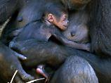 Schutz gefährdeter Menschenaffen: Hunde spüren Gorillakot auf