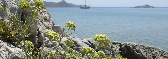 Blühender Fenchel in der Westtürkei: Am Mittelmeer wächst die Pflanze wild.