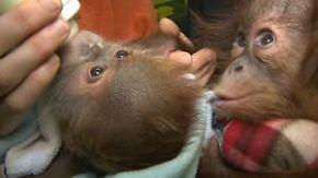 Abschied von Berliner Ziehvätern: Affenmädchen Rieke kuschelt in England mit neuem Bruder