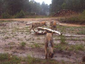Junge Wölfe sind neugierig.