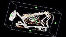 Tier-Tomograph in der Forschung: Ein Wolf kommt in die Röhre