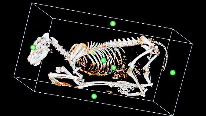 Das Skelett von einem toten Wolf nach einem Verkehrsunfall wird in Berlin im Leibniz-Institut für Zoo- und Wildtierforschung auf einem Computer in einer 3D-Ansicht dargestellt. Berliner Forscher klären Todesursachen von Wildtieren auf - bei Wölfen werden sie immer öfter auch zu Kriminaltechnikern.