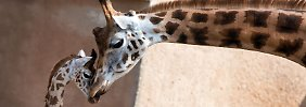 Giraffen, Elefanten, Gorillas: Große Pflanzenfresser sterben aus