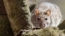 """Forscher entdecken Speedzellen: Ratten haben einen """"Tacho"""" im Gehirn"""