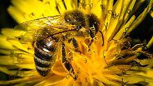 Vor allem Wildbienen sind extrem bedroht.