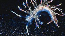 Die vielleicht schönste der neuen Arten lebt im Meer vor Japan und ist gerade 17 bis 28 Millimeter groß: Phyllodesmium acanthorhinum, eine aufregend gefärbte Schnecke in Rot, Blau, Weiß oder sogar Gold. Die neue Art erlaubt auch einen Einblick in die Lebensweise der Seeschnecken - inklusive ihres komplizierten Verdauungssystems.