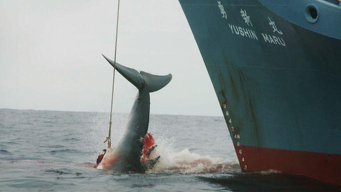 Der Internationale Gerichtshof in Den Haag hatte entschieden, dass Japan die Waljagd stoppen muss.