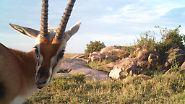 Oder wie diese Oryxantilope.