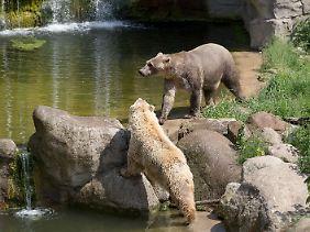 Bei den Hybridbären handelt es sich um eine Mischung aus Eisbär und Braunbär.