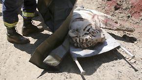 Nach Überschwemmungen in Tiflis: Entlaufener weißer Tiger tötet Mann