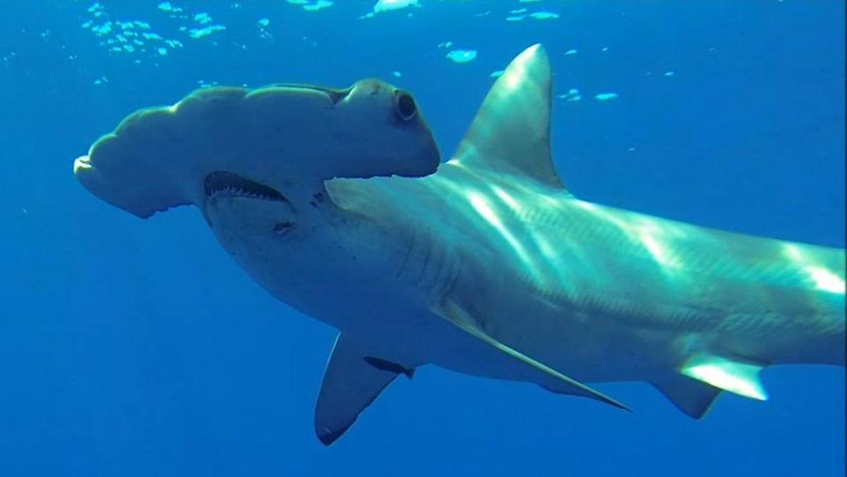 menschen brauchen haie haifische werden erstmals weltweit gez hlt n. Black Bedroom Furniture Sets. Home Design Ideas