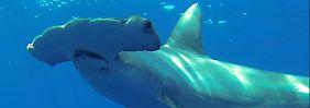 Ein Großer Hammerhai - er wird um die fünf Meter lang.