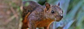 Symptome einer Gehirnentzündung: Bornavirus tötet Bunthörnchen-Züchter