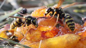 Tipps gegen lästige Plagegeister: Wie Sie sich Wespen vom Leib halten