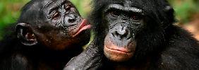 """""""Peep"""" ist nicht gleich """"Peep"""": Auch bei den Bonobos ist der Kontext in der Kommunikation entscheidend."""