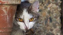 Frage und Antwort, Nr. 401: Wieso haben Katzen vertikale Pupillen?