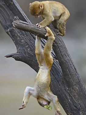 Affen tollen herum.