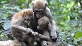 Assammakakenkinder mit ihrer Mutter