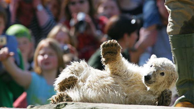 Eisbärbaby Knut im April 2007 im Berliner Zoo: Er hatte die Herzen der Zoobesucher im Sturm erobert.