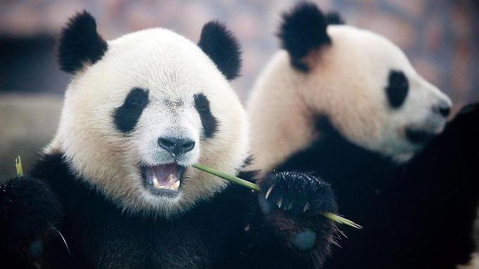 Auf der ganzen Welt könnten Tiere wie Afrikanische Elefanten oder Große Pandas regional verschwinden, genau wie zehntausende Pflanzen, Insekten und kleinere Lebewesen, die die Grundlage des Lebens auf der Erde bildeten, so der WWF.
