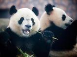Große Pandas fressen in einer Panda-Aufzuchtstation in Chengdu in der chinesischen Provinz Sichuan. Foto: Diego Azubel/Archiv