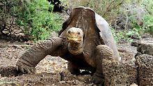 Großer Erfolg auf Galápagos: Tausende Riesenschildkröten geschlüpft