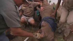 Mehr Schutz vor Wilderern: Südafrikanische Ranger kappen Nashorn-Hörner