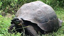 Bis zu 300 Tiere auf Galápagos: Forscher entdecken neue Riesenschildkröte