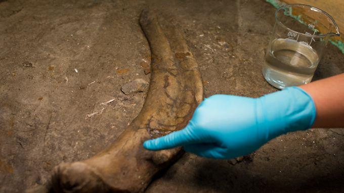 Winzige Schnittspuren auf dem Knochen können Steinwerkzeugen von Frühmenschen zugeordnet werden.