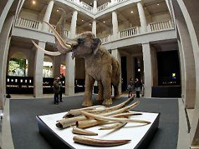Wissenschaftler untersuchen, ob Frühmenschen mit ihren primitiven Waffen bereits Waldelefanten erlegen konnten.