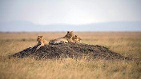 Löwen in Kenia. Von der neu entdeckten Population gibt es noch keine öffentlich zugänglichen Bilder.