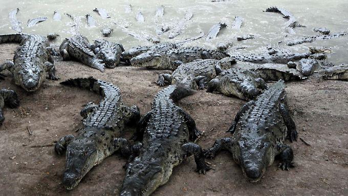 """Krokodile auf einer Sanbbank in einer Farm in Honduras. Auf dem Gelände des """"Crocodilia""""-Reservats leben mehr als 5000 Krokodile."""