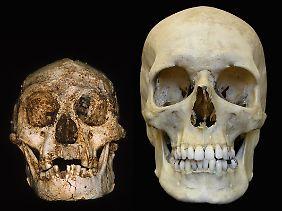 Der Schädel eines Homo floresiensis (l) und eines modernen Menschen.