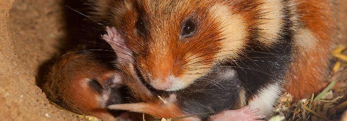 Weibchen fressen ihre Jungen: Mais macht Hamster- zu Rabenmüttern