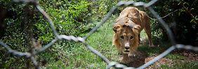 Mal was Sinnvolles verschenken: Ein Löwenbaby zu Weihnachten?