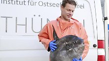 Die Mondfische, die träge Schwimmer sind, wurden vermutlich im November in die Ostsee gespült, wie Dr. Uwe Krumme vom Thünen-Institut sagt. Foto: Annemarie Schütz/Thünen-Institut/dpa