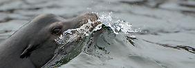 Domoinsäure zerstört Gedächtnis: Kieselalgen vergiften Seelöwen
