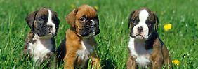 Teure Tierliebe: Forscher klonen verstorbenen Hund