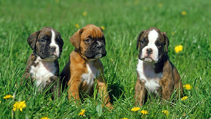 Boxer gibt es in verschiedenen Farben. Sie gelten als gesellige Tiere.